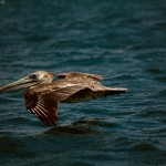 A pelican flying over the ocean.