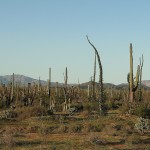 Cactus and Boojum trees in the Baja California landscape.